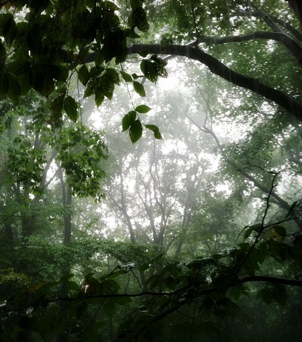 Birchtreesinrain